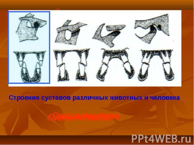Строение суставов различных животных и человека Сустав хищников Сустав жвачных Сустав грызунов Сустав человека