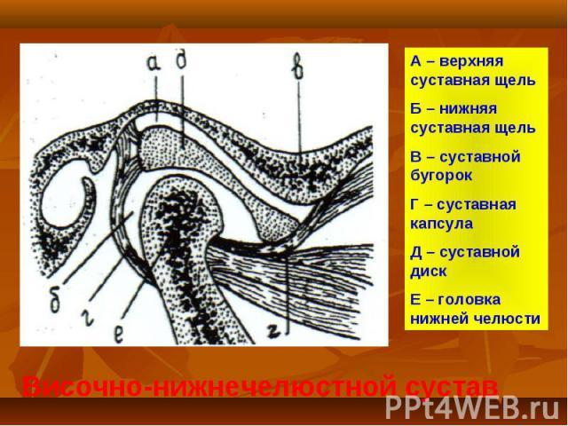Височно-нижнечелюстной сустав А – верхняя суставная щель Б – нижняя суставная щель В – суставной бугорок Г – суставная капсула Д – суставной диск Е – головка нижней челюсти