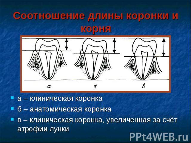 Соотношение длины коронки и корня а – клиническая коронка б – анатомическая коронка в – клиническая коронка, увеличенная за счёт атрофии лунки