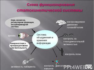 Система объединения и хранения информации Кора, мозжечок, ретикулярная формация,