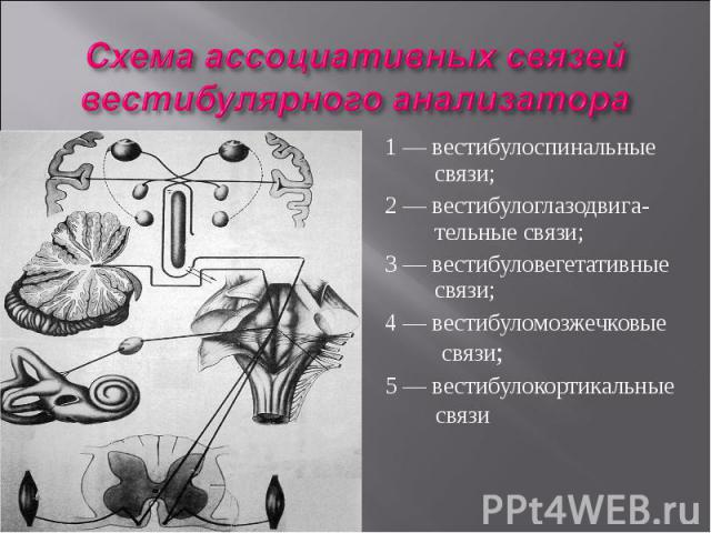 1 — вестибулоспинальные связи; 2 — вестибулоглазодвига- тельные связи; 3 — вестибуловегетативные связи; 4 — вестибуломозжечковые связи; 5 — вестибулокортикальные связи
