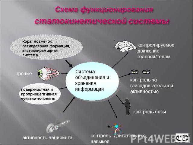 Система объединения и хранения информации Кора, мозжечок, ретикулярная формация, экстрапирамидная система активность лабиринта контроль двигательных навыков контроль позы контроль за глазодвигательной активностью контролируемое движение головой/тело…