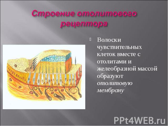 Волоски чувствительных клеток вместе с отолитами и желеобразной массой образуют отолитовую мембрану