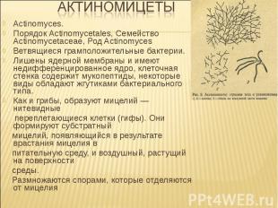 Actinomyces. Порядок Actinomycetales, Семейство Actinomycetaceae, Род Actinomyce