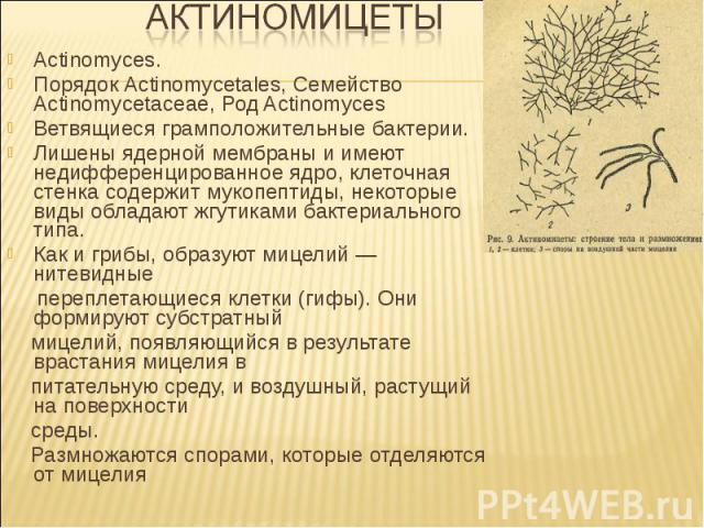 Actinomyces. Порядок Actinomycetales, Семейство Actinomycetaceae, Род Actinomyces Ветвящиеся грамположительные бактерии. Лишены ядерной мембраны и имеют недифференцированное ядро, клеточная стенка содержит мукопептиды, некоторые виды обладают жгутик…