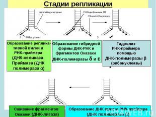 Образование реплика- тивной вилки и РНК-праймера (ДНК-хеликаза, Праймаза (ДНК по
