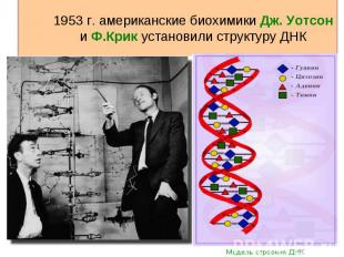 1953 г. американские биохимики Дж. Уотсон и Ф.Крик установили структуру ДНК