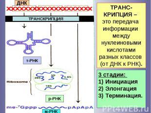 ДНК ТРАНСКРИПЦИЯ т-РНК р-РНК м-РНК 3 стадии: 1) Инициация 2) Элонгация 3) Термин