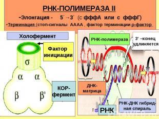 КОР- фермент Фактор инициации Холофермент РНК-полимераза 3' –конец удлиняется РН