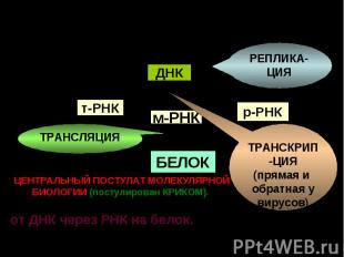 DNA t RNA r RNA m RNA protein ДНК т-РНК м-РНК р-РНК БЕЛОК РЕПЛИКА-ЦИЯ ТРАНСКРИП-