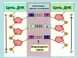Цепь ДНК Г Ц Водородные связи Цепь ДНК Комплемен- тарные основания