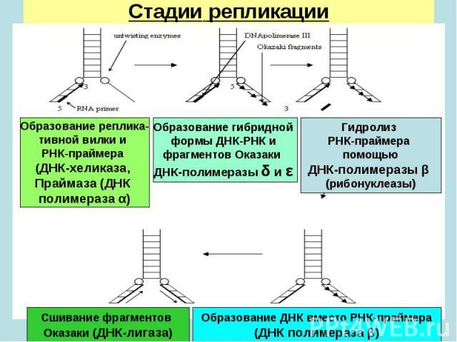 Образование реплика- тивной вилки и РНК-праймера (ДНК-хеликаза, Праймаза (ДНК полимераза α) Образование гибридной формы ДНК-РНК и фрагментов Оказаки ДНК-полимеразы δ и ε Гидролиз РНК-праймера помощью ДНК-полимеразы β (рибонуклеазы) Образование ДНК в…