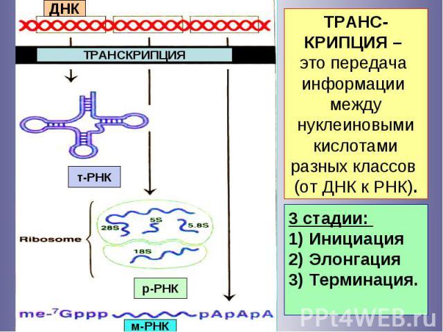 ДНК ТРАНСКРИПЦИЯ т-РНК р-РНК м-РНК 3 стадии: 1) Инициация 2) Элонгация 3) Терминация. ТРАНС-КРИПЦИЯ – это передача информации между нуклеиновыми кислотами разных классов (от ДНК к РНК).