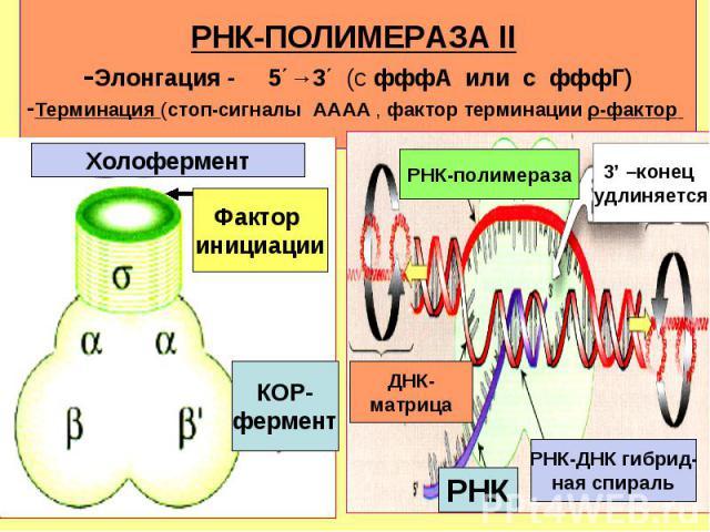 КОР- фермент Фактор инициации Холофермент РНК-полимераза 3' –конец удлиняется РНК РНК-ДНК гибрид- ная спираль ДНК- матрица РНК-ПОЛИМЕРАЗА II -Элонгация - 5΄→3΄ (с фффA или с фффГ) -Терминация (стоп-сигналы AAAA , фактор терминации ρ-фактор