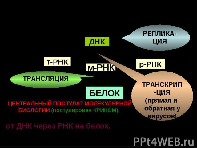 DNA t RNA r RNA m RNA protein ДНК т-РНК м-РНК р-РНК БЕЛОК РЕПЛИКА-ЦИЯ ТРАНСКРИП-ЦИЯ (прямая и обратная у вирусов) ТРАНСЛЯЦИЯ ЦЕНТРАЛЬНЫЙ ПОСТУЛАТ МОЛЕКУЛЯРНОЙ БИОЛОГИИ (постулирован КРИКОМ). - Генетическая информация передается от ДНК через РНК на б…
