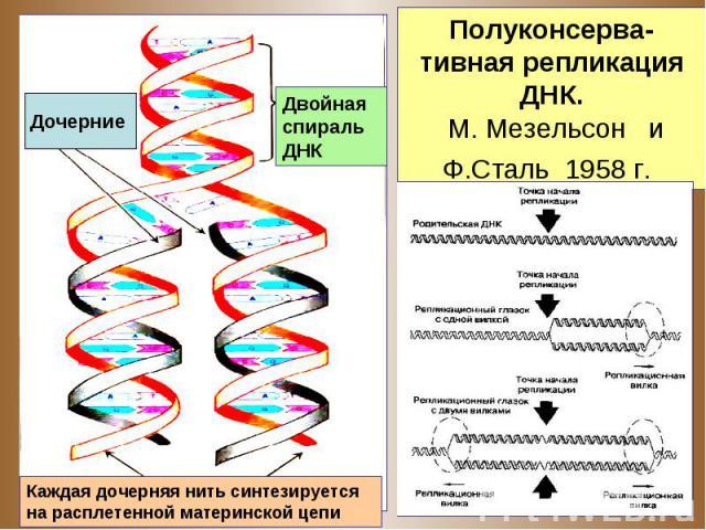 ппп Дочерние Каждая дочерняя нить синтезируется на расплетенной материнской цепи Двойная спираль ДНК Полуконсерва-тивная репликация ДНК. М. Мезельсон и Ф.Сталь 1958 г.