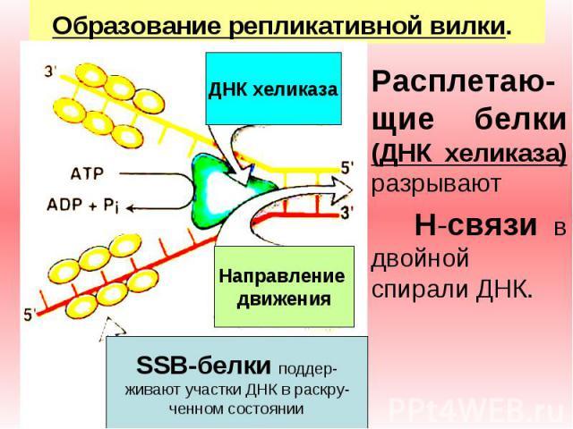 ДНК хеликаза Направление движения SSB-белки поддер- живают участки ДНК в раскру- ченном состоянии Образование репликативной вилки. Расплетаю-щие белки (ДНК хеликаза) разрывают H-связи в двойной спирали ДНК.