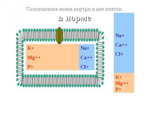 К+ Mg++ P+ Na+Ca++Cl+ Соотношение ионов внутри и вне клетки в норме Na+Ca++Cl+ К