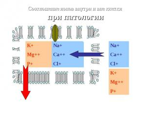 Na+Ca++Cl+ К+ Mg++ P+ Na+Ca++Cl+ Соотношение ионов внутри и вне клетки при патол