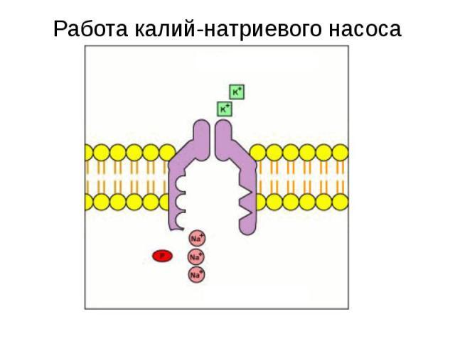 Снаружи клетки Внутри клетки Работа калий-натриевого насоса