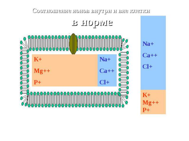 К+ Mg++ P+ Na+Ca++Cl+ Соотношение ионов внутри и вне клетки в норме Na+Ca++Cl+ К+ Mg++ P+