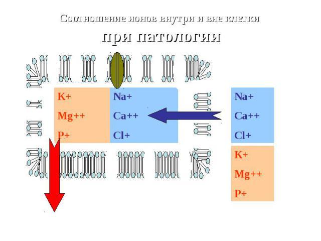 Na+Ca++Cl+ К+ Mg++ P+ Na+Ca++Cl+ Соотношение ионов внутри и вне клетки при патологии К+ Mg++ P+