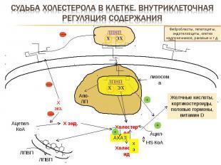 Фибробласты, гепатоциты, эндотелиоциты, клетки надпочечников, раковые и т.д. лиз