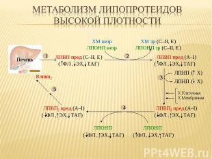 Печень ( Х) ( Х) ЛПВП пред (С–II, E) ЛПВП пред (А–I) ( ФЛ , ЭХ, ТАГ) ( ФЛ , ЭХ,