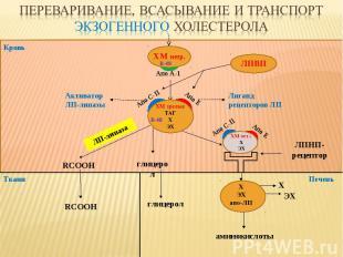 Кровь Ткани ЛПВП ЛПНП-рецептор глицерол RCOOH ЛП-липаза аминокислоты Печень Апо