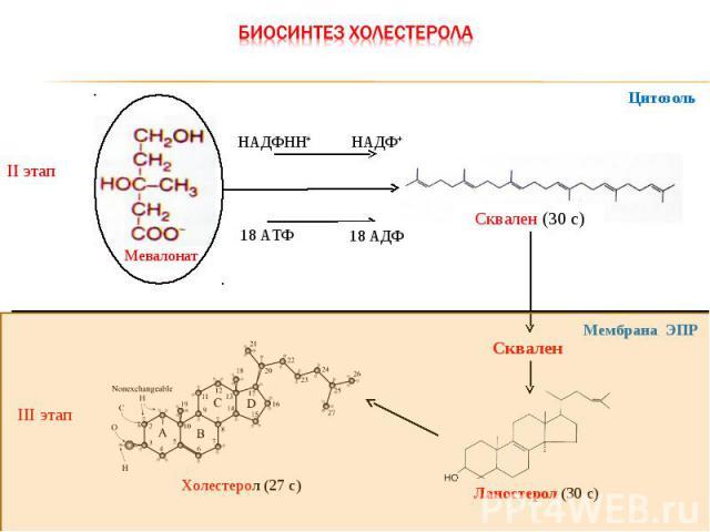 II этап Мевалонат Сквален (30 с) НАДФНН+ НАДФ+ 18 АТФ III этап Ланостерол (30 с) Холестерол (27 с) Цитозоль Сквален Мембрана ЭПР 18 АДФ