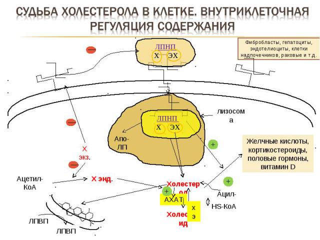 Фибробласты, гепатоциты, эндотелиоциты, клетки надпочечников, раковые и т.д. лизосома Апо-ЛП Ацетил-КоА Холестерол Желчные кислоты, кортикостероиды, половые гормоны, витамин D Х энд. Х экз. Холестерид АХАТ Ацил-КоА HS-КоА + + — — ЛПВП ЛПВП ЛПНП Х ЭХ…