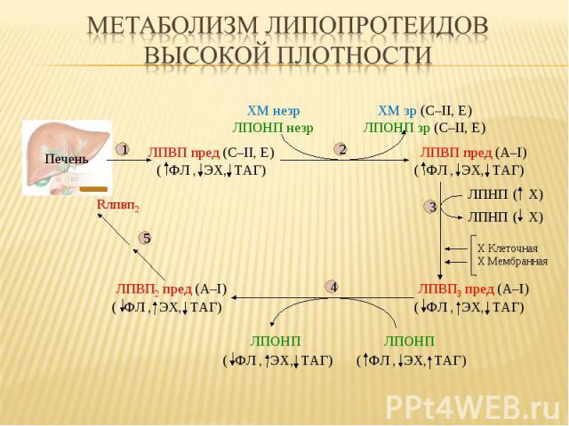 Печень ( Х) ( Х) ЛПВП пред (С–II, E) ЛПВП пред (А–I) ( ФЛ , ЭХ, ТАГ) ( ФЛ , ЭХ, ТАГ) ХМ незр ЛПОНП незр ХМ зр (С–II, E) ЛПОНП зр (С–II, E) ЛПВП3 пред (А–I) ( ФЛ , ЭХ, ТАГ) ЛПВП2 пред (А–I) ( ФЛ , ЭХ, ТАГ) Rлпвп2 ( ФЛ , ЭХ, ТАГ) ( ФЛ , ЭХ, ТАГ) ЛПОНП…