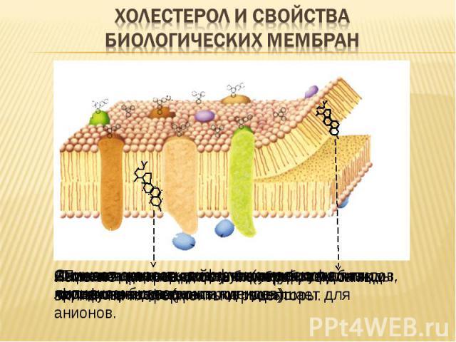 Повышает плотность упаковки фосфолипидов. Ограничивает подвижность жирных кислот фосфолипидов («охлаждение»). Снижает скорость диффузии молекул в липидном бислое Снижает проницаемость биомембран для воды, катионов, неэлектролитов, повышает для анион…