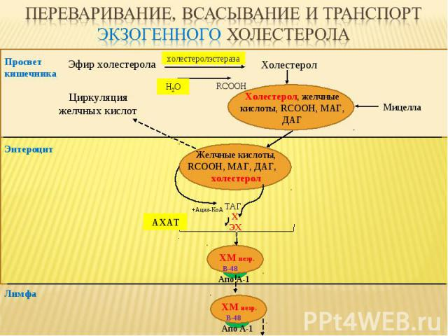 Эфир холестерола Холестерол RCOOH Просвет кишечника ТАГ, Х ЭХ Лимфа Апо А-1 B-48 ХМ незр. Холестерол, желчные кислоты, RCOOH, МАГ, ДАГ Мицелла Энтероцит Желчные кислоты, RCOOH, МАГ, ДАГ, холестерол +Ацил-КоА АХАТ Апо А-1 B-48 ХМ незр. Н2О холестерол…