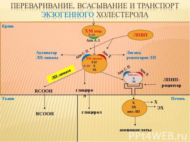 Кровь Ткани ЛПВП ЛПНП-рецептор глицерол RCOOH ЛП-липаза аминокислоты Печень Апо С-II Апо E глицерол RCOOH Х ЭХ Активатор ЛП-липазы Лиганд рецепторов ЛП Апо С-II Апо E B-48 ХМ незр. B-48 Апо А-1