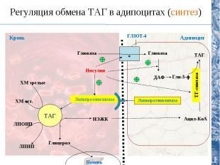 Регуляция обмена ТАГ в адипоцитах (синтез) ТАГ Липопротеинлипаза НЭЖК Глицерол П