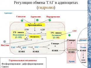 Регуляция обмена ТАГ в адипоцитах (гидролиз) Протеинкиназа ГЧ –липаза Неактивная