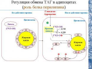 Липаза (ГЧЛ-ОН) Цитоплазма Жировая капля П П П П П П П П Жировая капля П П П-Ф П