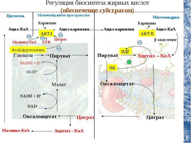 NADH + H+ NAD+ Регуляция биосинтеза жирных кислот (обеспечение субстратом) Цитозоль Глюкоза Пируват Пируват Ацетил – КоА Малат Оксалоацетат Цитрат Цитрат Ацетил - КоА Оксалоацетат NADPH + H+ NADP+ Ацил-КоА Ацил-карнитин Ацил-карнитин Ацил-КоА Карнит…