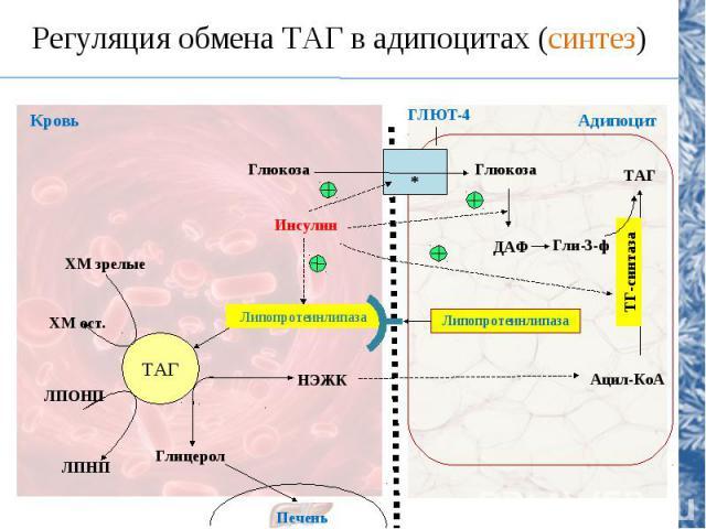 Регуляция обмена ТАГ в адипоцитах (синтез) ТАГ Липопротеинлипаза НЭЖК Глицерол Печень ЛПОНП ЛПНП ХМ зрелые ХМ ост. Инсулин Глюкоза Глюкоза ДАФ Гли-3-ф Липопротеинлипаза ТАГ Ацил-КоА ГЛЮТ-4 Кровь Адипоцит * ТГ-синтаза