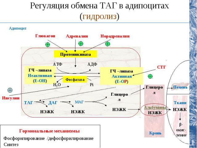 Регуляция обмена ТАГ в адипоцитах (гидролиз) Протеинкиназа ГЧ –липаза Неактивная (Е-ОН) ГЧ –липаза Активная (Е-ОР) Pi Н2О ТАГ ДАГ МАГ Глицерол НЭЖК НЭЖК НЭЖК СТГ Глицерол НЭЖК Фосфатаза Инсулин Адипоцит Кровь β-окис-ление Ткани АДФ АТФ Глюкагон Адре…