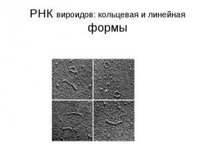 РНК вироидов: кольцевая и линейная формы