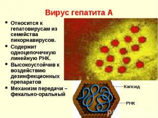 Вирус гепатита А Относится к гепатовирусам из семейства пикорнавирусов. Содержит