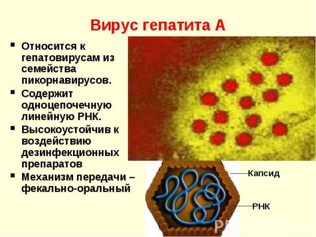Вирус гепатита А Относится к гепатовирусам из семейства пикорнавирусов. Содержит одноцепочечную линейную РНК. Высокоустойчив к воздействию дезинфекционных препаратов Механизм передачи – фекально-оральный Капсид РНК