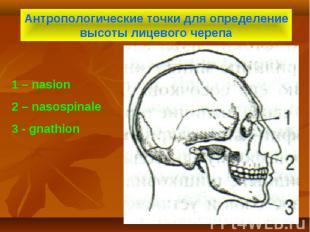 Антропологические точки для определение высоты лицевого черепа 1 – nasion 2 – na