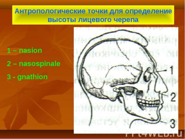 Антропологические точки для определение высоты лицевого черепа 1 – nasion 2 – nasospinale 3 - gnathion