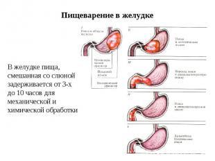 Пищеварение в желудке В желудке пища, смешанная со слюной задерживается от 3-х д