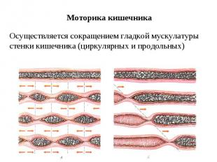 Моторика кишечника Осуществляется сокращением гладкой мускулатуры стенки кишечни