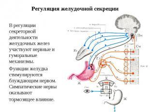 Регуляция желудочной секреции В регуляции секреторной деятельности желудочных же