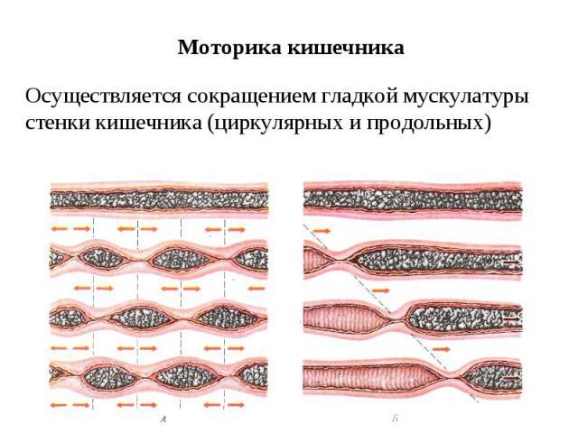 Моторика кишечника Осуществляется сокращением гладкой мускулатуры стенки кишечника (циркулярных и продольных)